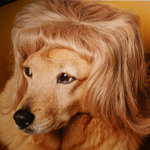 Dog in Wig