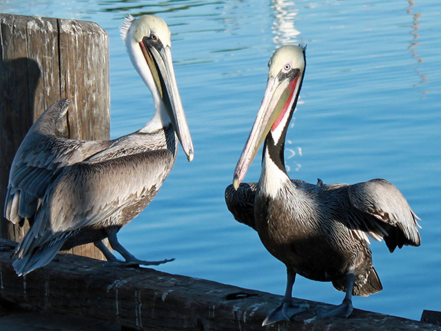 two pelicans in pedro on jan 28, 2012