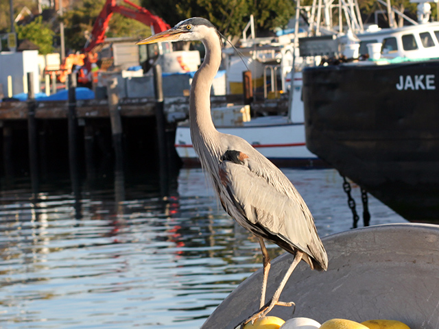 heron in san pedro, ca on february 23, 2012