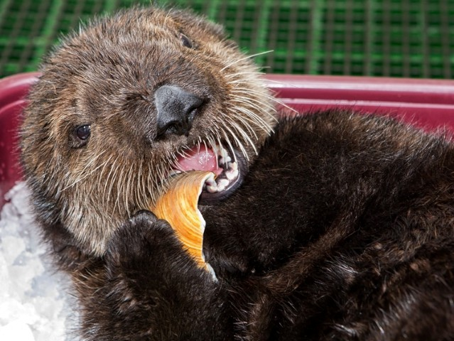 """Prepare to say, """"Awww"""": Rescued Sea Otter Pup at Aquarium of the Pacific"""