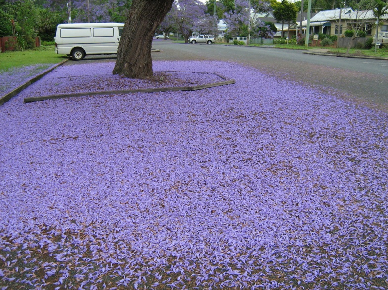 Purple Haze: Jacarandas make a hot mess in Burbank.