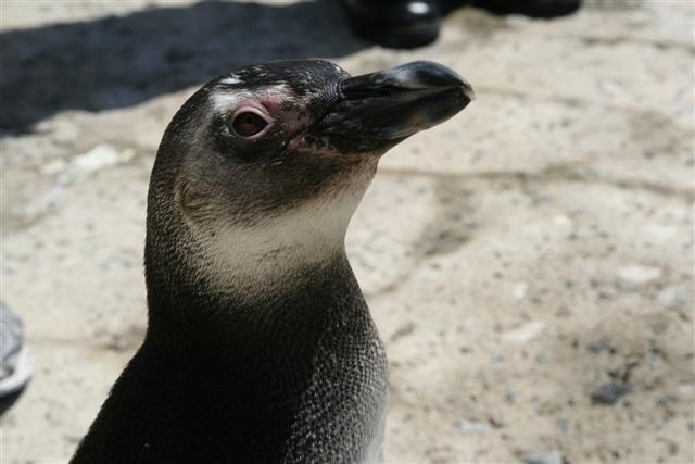 Aquarium of the Pacific Unveils Penguin Habitat