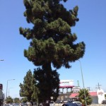 Canary Island Pine with Bureau of Street Service Tree Removal Notice on Crenshaw