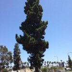 Majestic Canary Island Pine on Crenshaw slated for Removal. 