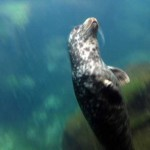 Bixby, the harbor seal