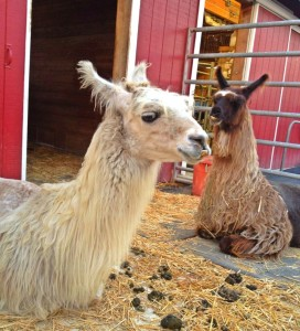 Llamas chilling at the OC Fair (photo by Nikki Kreuzer)