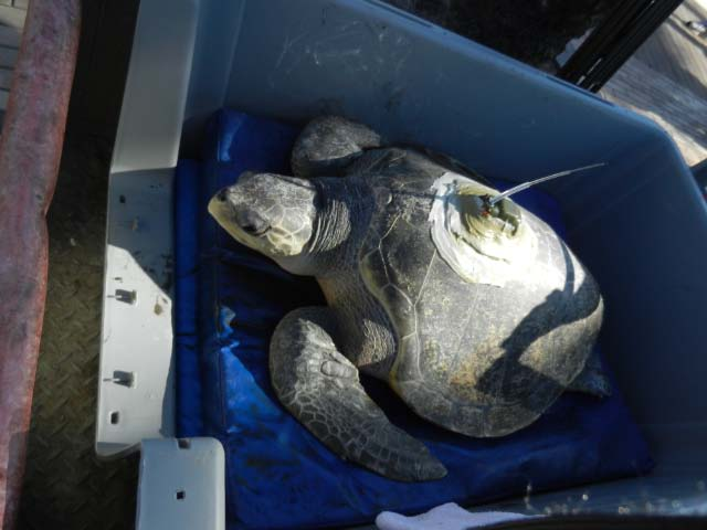 Olive Ridley Sea Turtle Returned to the Sea
