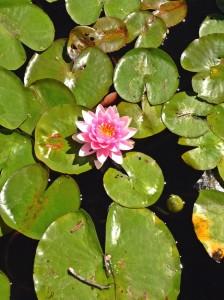 Echo Park Lake lily pads (photo by Nikki Kreuzer)