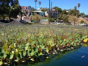 Netting on the Echo Park Lake plants (photo by Nikki Kreuzer)