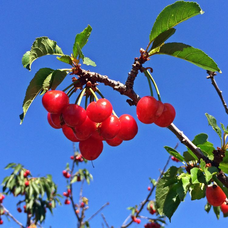 Cherry season in Southern California! (photo by Nikki Kreuzer)