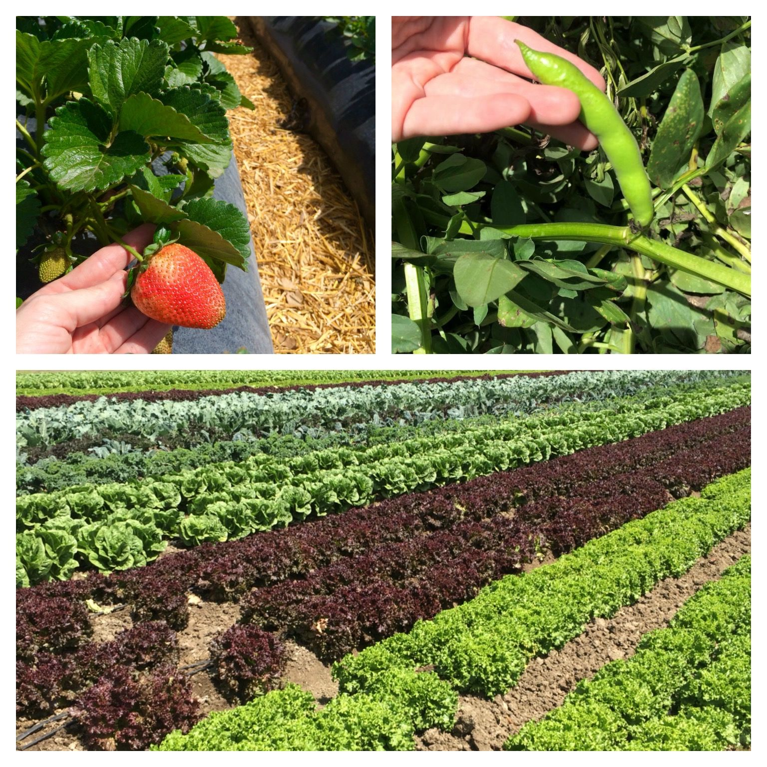 Strawberries, Fava Beans and Lettuce at Underwood Farms (photo by Nikki kreuzer_