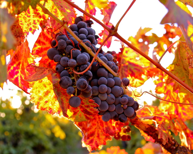 Zinfandel Grapes, Mokelumne River AVA, Lodi. Photography by Randy Caparoso.