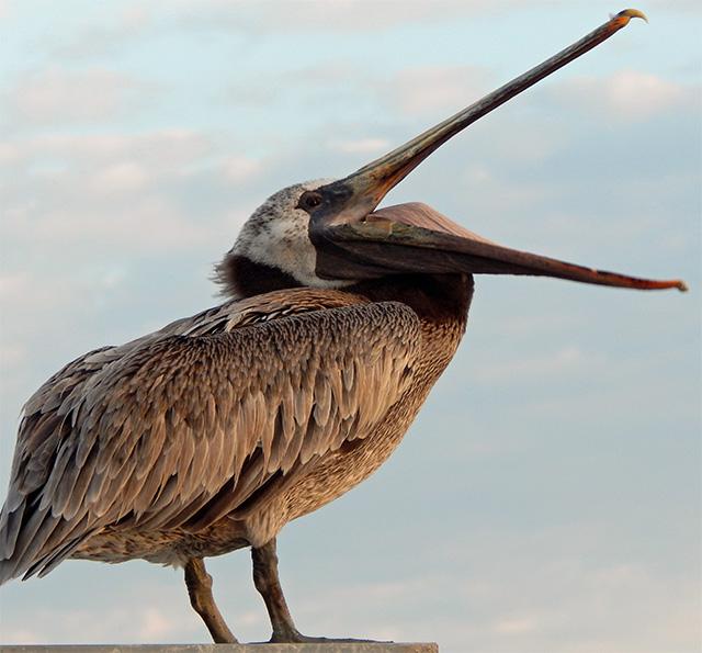 pelican_in_pedro_150719