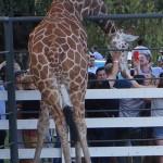 Giraffe Encounters