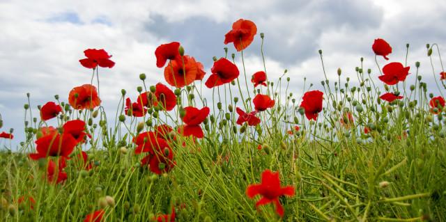 ross g strachan poppies