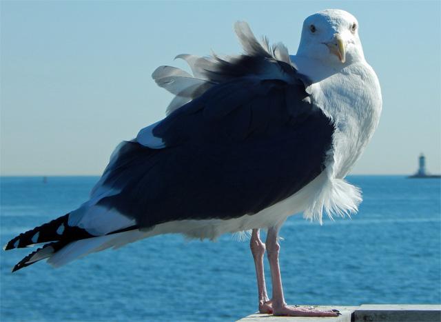 sea_gull_in_pedro_on_thanksgiving_2016