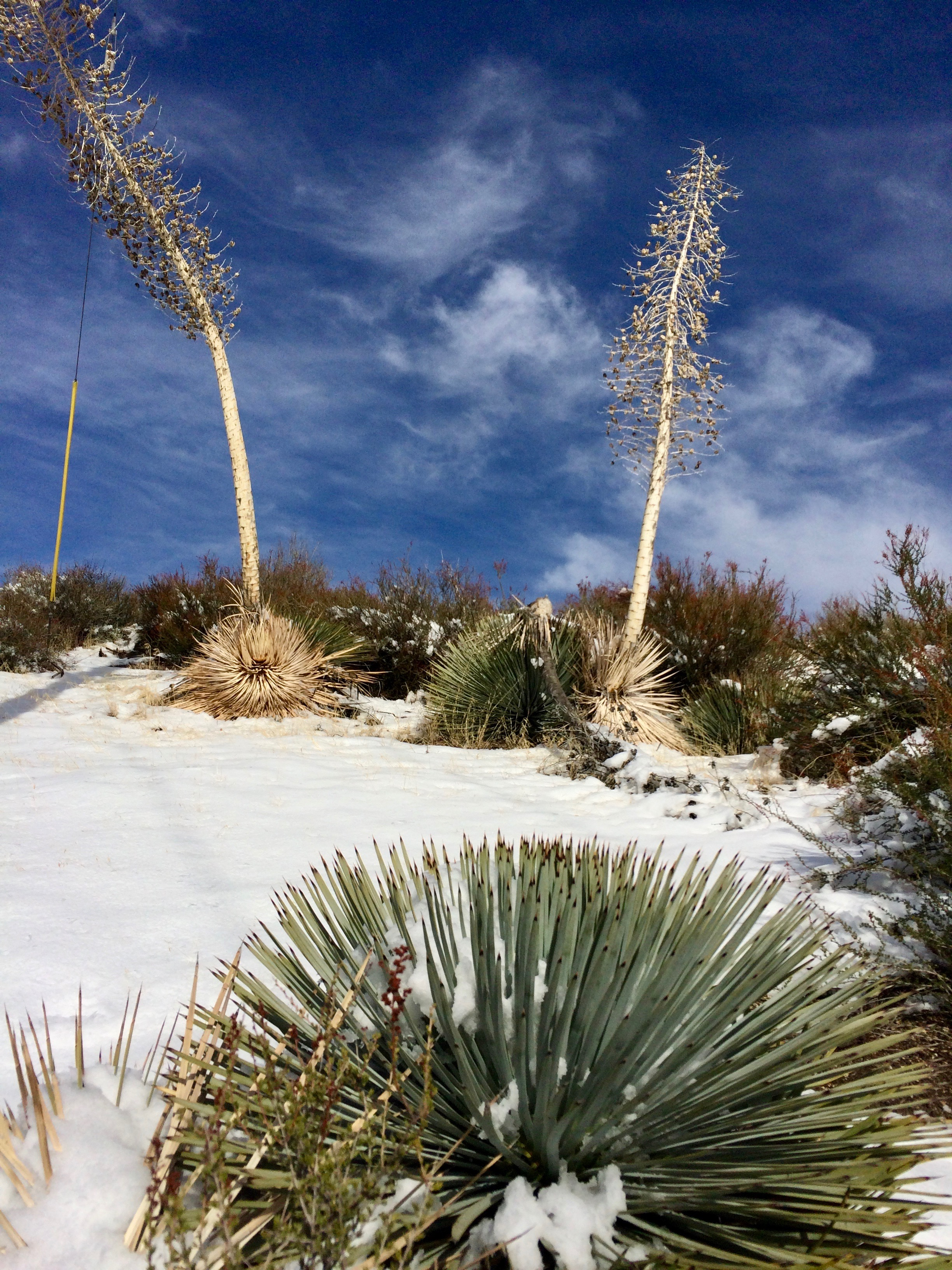 Southern California Contrast: Yuccas in the Snow (photo by Nikki Kreuzer)
